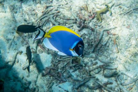 acanthurus leucosternon: Powder blue surgeonfish (Acanthurus leucosternon) swimming around the reef