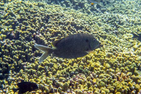 Brown-spotted Spinefoot Rabbitfish (Siganus stellatus) swimming around the reef