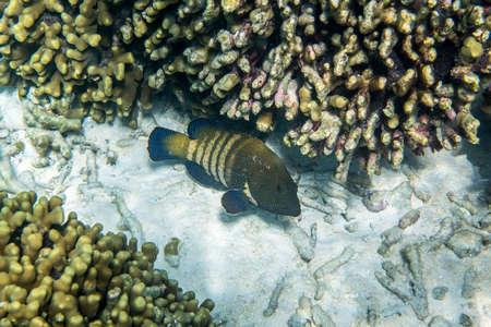 blue fish: Peacock grouper ( Cephalopholis argus ) swimming around the reef
