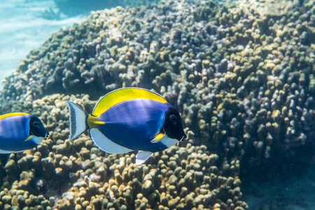 Powder blue surgeonfish (Acanthurus leucosternon) swimming around the reef