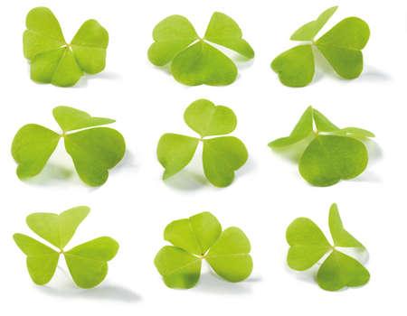 acetosella: Clover (Wood-alaz�n) aislado en blanco. Para su uso en temas del D�a de San Patricio. Oxalis acetosella (lat.). Poca profundidad de campo.