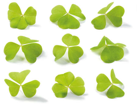 acetosella: Clover (Wood-sorrel) isolated on white. For use in St. Patricks Day themes. Oxalis acetosella (lat.). Shallow depth of field.