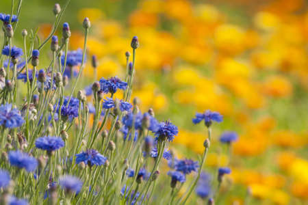 Field of blomming blue cornflower and Marigold  calendula  in summer meadow  Stock Photo