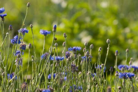 blomming: Blomming blue cornflower in summer meadow