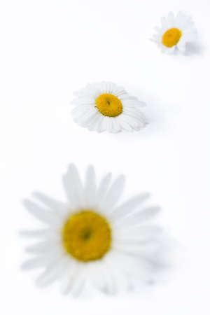 Wild daisies on white background  Shallow depth of field with focus on middle flowers  Stock Photo