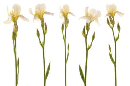 5 白いアイリスの花のスタジオ撮影。白い背景上に分離。 写真素材