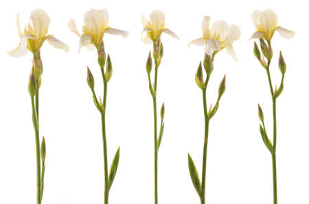 Studio Shot of five white Iris flower. Isolated on White Background.
