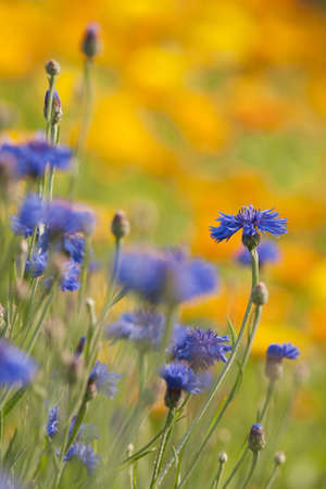 blomming: Field of blomming blue cornflower and Marigold  calendula  in summer meadow Stock Photo