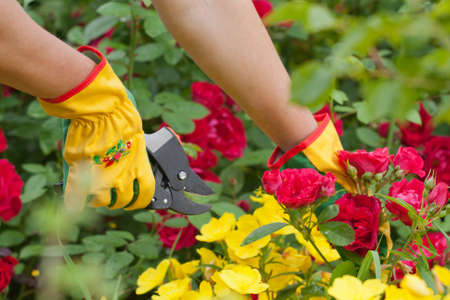 Hands with pruning shears  Rose pruning  Flower gardening