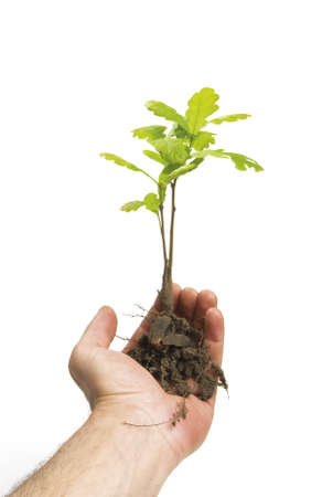 Hand holding a new oak tree with roots  isolated on white  photo
