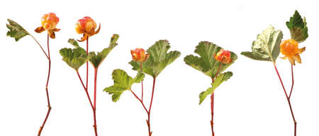 Arctic fruit  Ripe cloudberry on the stem with leaves isolated on white  Group of Objects   Rubus chamaemorus   写真素材