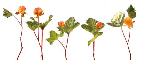 chicout�: Arctic fruits m?rs chicout? sur la tige avec des feuilles isol?es sur blanc Groupe d'objets Rubus chamaemorus Banque d'images