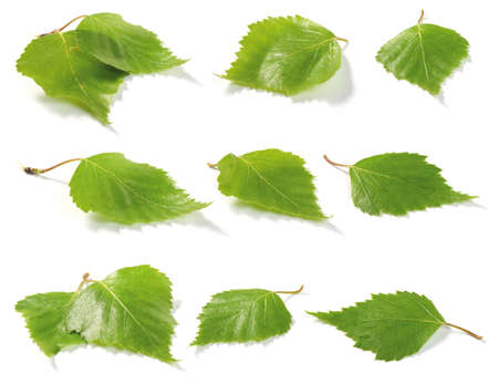 brich: Green brich tree leaves. Isolated on white background. Shallow depth of field.