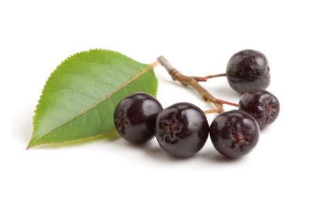 Black chokeberry bunch (Aronia melanocarpa) isolated on white background.
