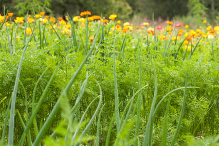 Carrot tops and scallion in vegetable garden photo
