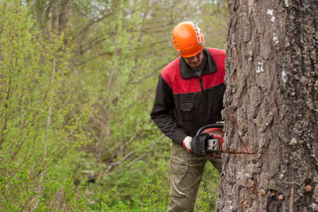 lumberman: a woodcutter at work in the forest