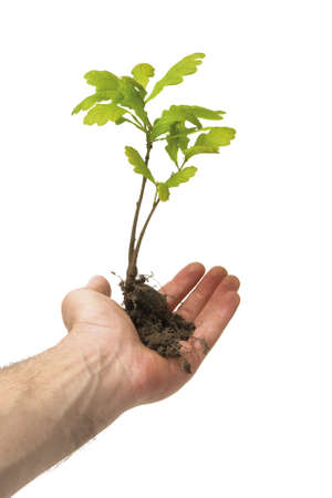 acorn: Hand holding a new oak tree with roots. isolated on white.