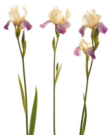 3 つの紫と黄色のスタジオ撮影タイガー ストライプのアイリスの花。白い背景上に分離。 写真素材