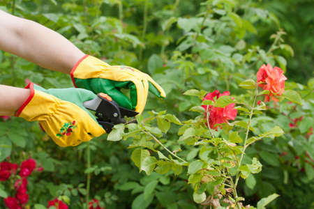 Hands with pruning shears. Rose pruning. Flower gardening. 스톡 콘텐츠