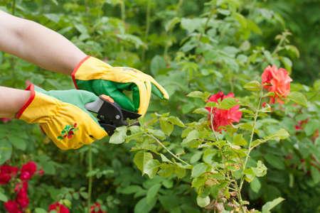 Hands with pruning shears. Rose pruning. Flower gardening. Standard-Bild