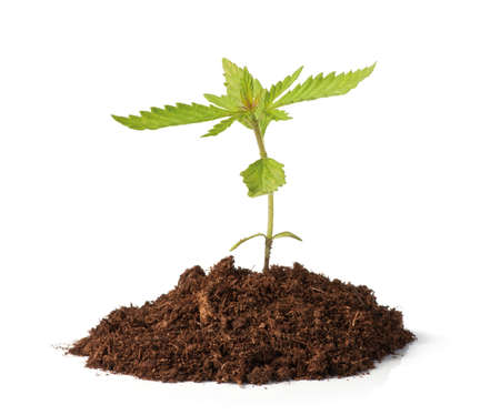 Small cannabis (hemp, Cannabis sativa) sprout growing from soil. Isolated on white. Stock Photo