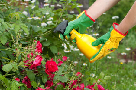 Spraying roses in a garden Stock Photo