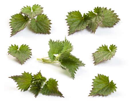 イラクサのクローズ アップは葉に孤立したホワイトです。