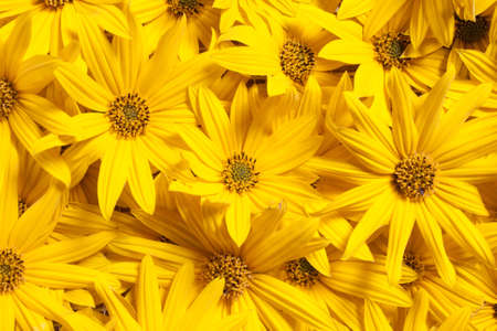 Jerusalem artichoke (Helianthus tuberosus. Also called sunroot, sunchoke, earth apple or topinambour) flowers background. photo