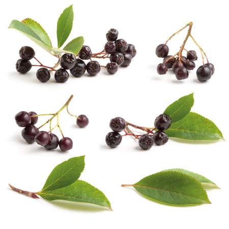 Various Black chokeberry bunch (Aronia melanocarpa) isolated on white background. Stock Photo