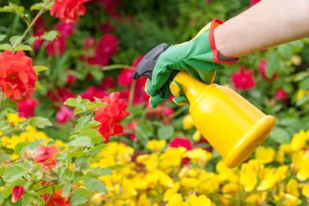 Spraying roses in a garden. Flower gardening.