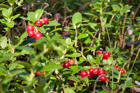 Closeup of red lingonberries in forest  Shallow depth of field  Cowberries  Vaccinium vitis-idaea   photo