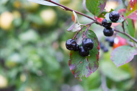 Berries of black chokeberry in autumn, close-up