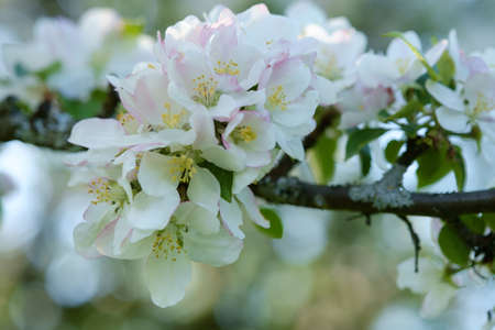 Pink and white blossom on an apple tree in spring. Outdoor.