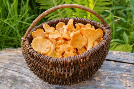 Chanterelle (Cantharellus cibarius) mushrooms in basket. Outdoor. Stock Photo