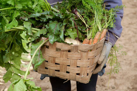 parsnips: Female hands holding wooden crate with fresh Carrots, beets and parsnips in garden. Autumn garden harvest. Stock Photo