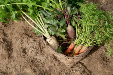 parsnips: Wooden crate with fresh Carrots, beets and parsnips in garden. Autumn garden harvest. Stock Photo