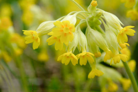 primula veris: Field of yellow Cowslip flowers or Primula veris. Shallow depth of field. Stock Photo