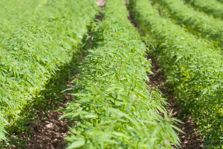 Field of hemp. Cannabis Sativa. Industrial kind (technical cannabis) Stock Photo