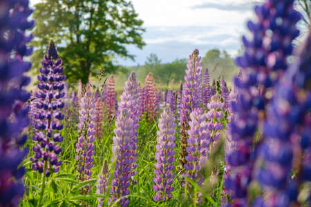 Lupine blooming meadow in early summer. close up