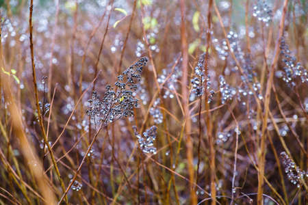 Dew drops on spiraea branches in autumn. Shallow depth of field. close up. Stock Photo
