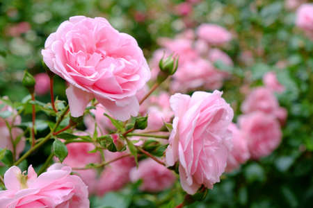 Blooming Pink roses and buds on a bush in the garde Stock Photo