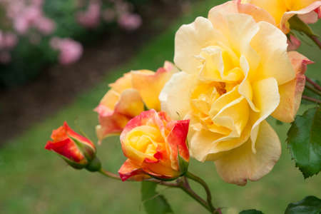 Blooming pink and yellow roses and buds on a bush in the garden Stock Photo