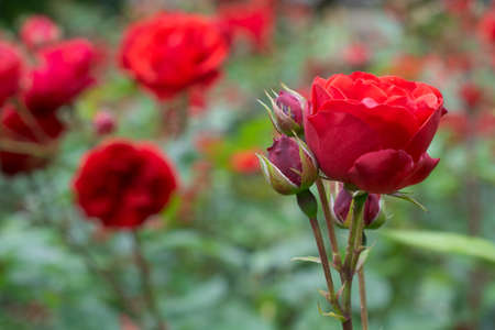 Blooming Red roses and buds on a bush in the garden