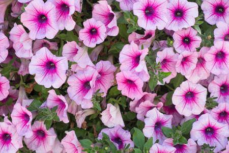 Background of purple white  petunia flowers (Petunia hybrida). Natural background. Stock Photo