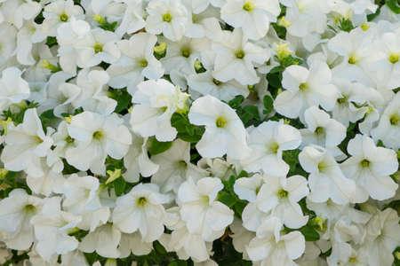 Background of white petunia flowers (Petunia hybrida). Natural background. Stock Photo
