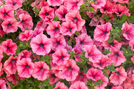 Background of pink  petunia flowers (Petunia hybrida). Natural background.
