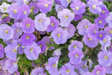 Background of purple petunia flowers (Petunia hybrida). Natural background. Stock Photo