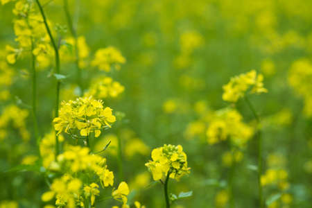 Mustard plants with green pods and beautiful yellow flowers at the farm Stock Photo