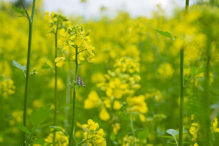 Mustard plants with green pods and beautiful yellow flowers at mustard plants with green pods and beautiful yellow flowers at the farm stock photo 94928262 mightylinksfo