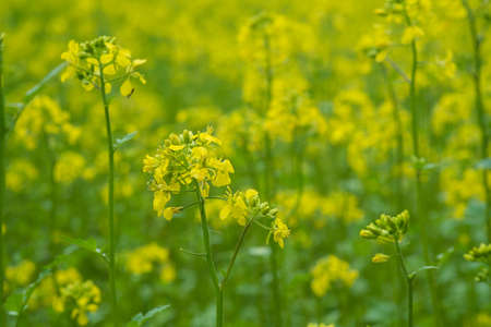 Mustard plants with green pods and beautiful yellow flowers at mustard plants with green pods and beautiful yellow flowers at the farm stock photo 94961018 mightylinksfo